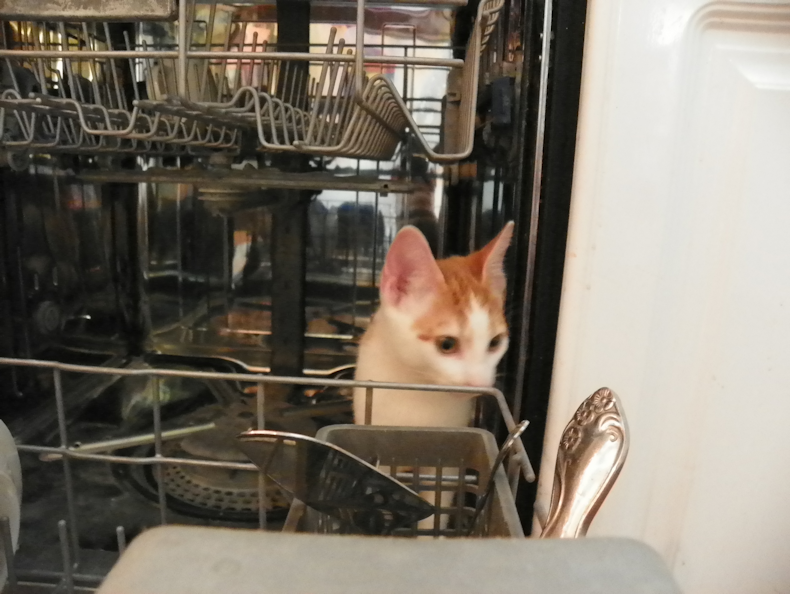 cat_in_dish_washer